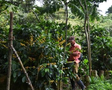 Salva Negra – Picking the coffee berries